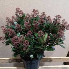 Skimmia japonica Rubella - p23 40+blomster