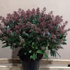 Skimmia japonica Rubella - p26 50+blomster
