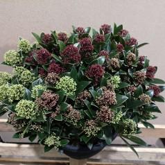 Skimmia japonica Tricolour - Trefarvet p25 50+blomster