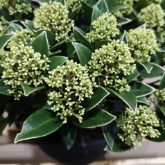 Skimmia japonica White Dwarf - p25 50+blomster