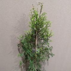 Taxodium Distichum - Sumpcypres / 60-80 cm.