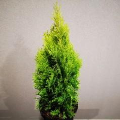Thuja occidentalis Golden Smaragd / 30-40 cm.