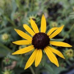 Rudbeckia hybrid Little Gold Star - Solhat