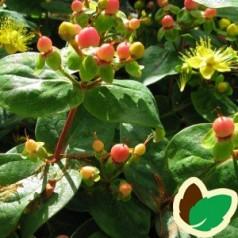 Hypericum Miracle Blossom - Perikon