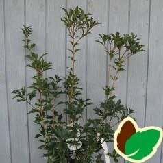 Osmanthus heterophyllus Purpureus / Djævlebusk