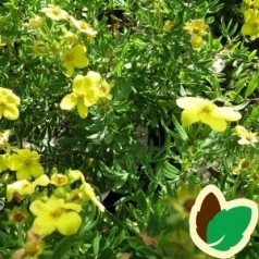 Potentilla fruticosa Friedheim - Potentil