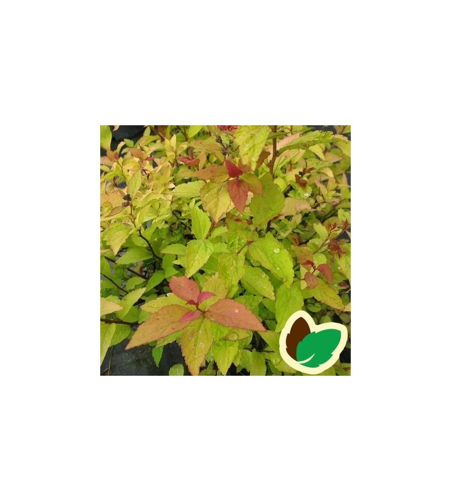 Spiraea japonica Firelight - Spiræa