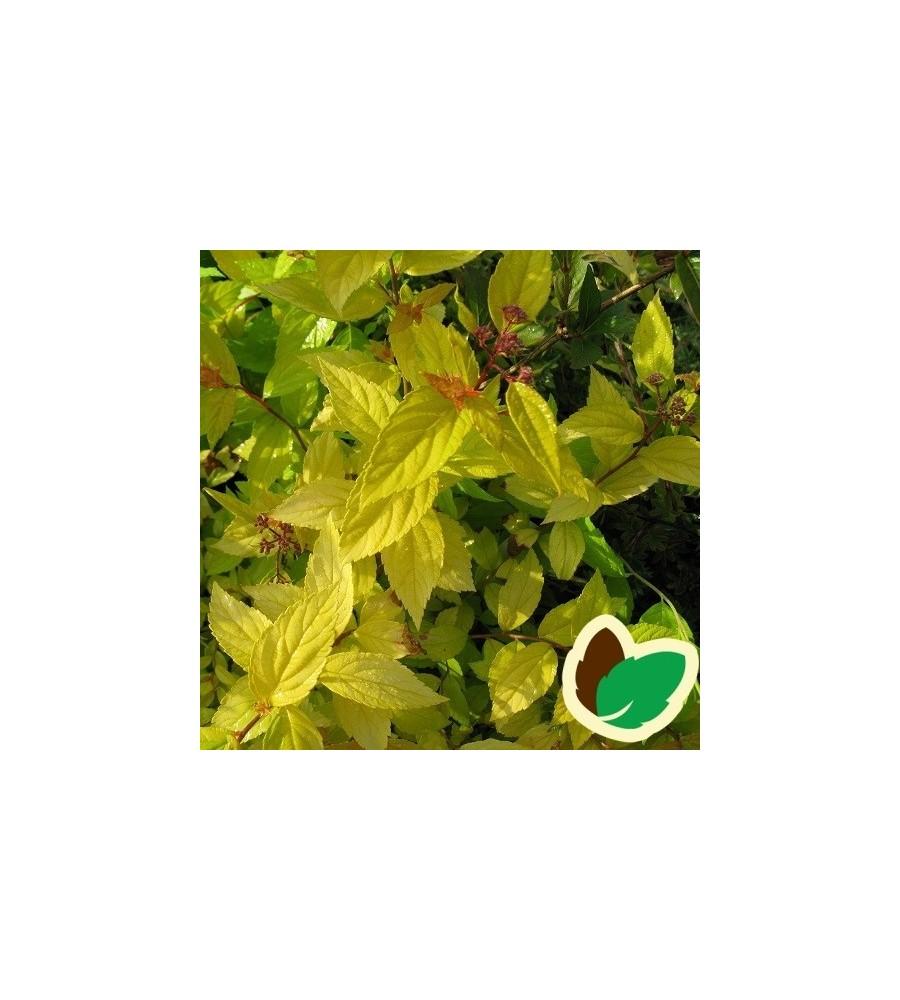 Spiraea japonica Golden Princess - Spiræa