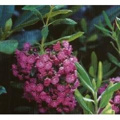 Kalmia angustifolia Rubra