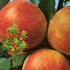 Dværg Æbletræ James Greve