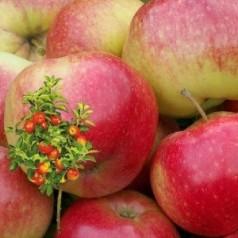 Dværg Æbletræ Katinka