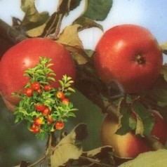 Dværg Æbletræ Rød Ananas