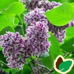 Syringa vulgaris Hugo de Vries - Storblomstret Syren