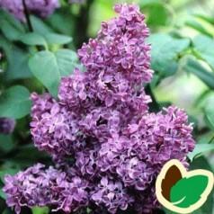 Syringa vulgaris Ruhm von Horstenstein - Storblomstret Syren