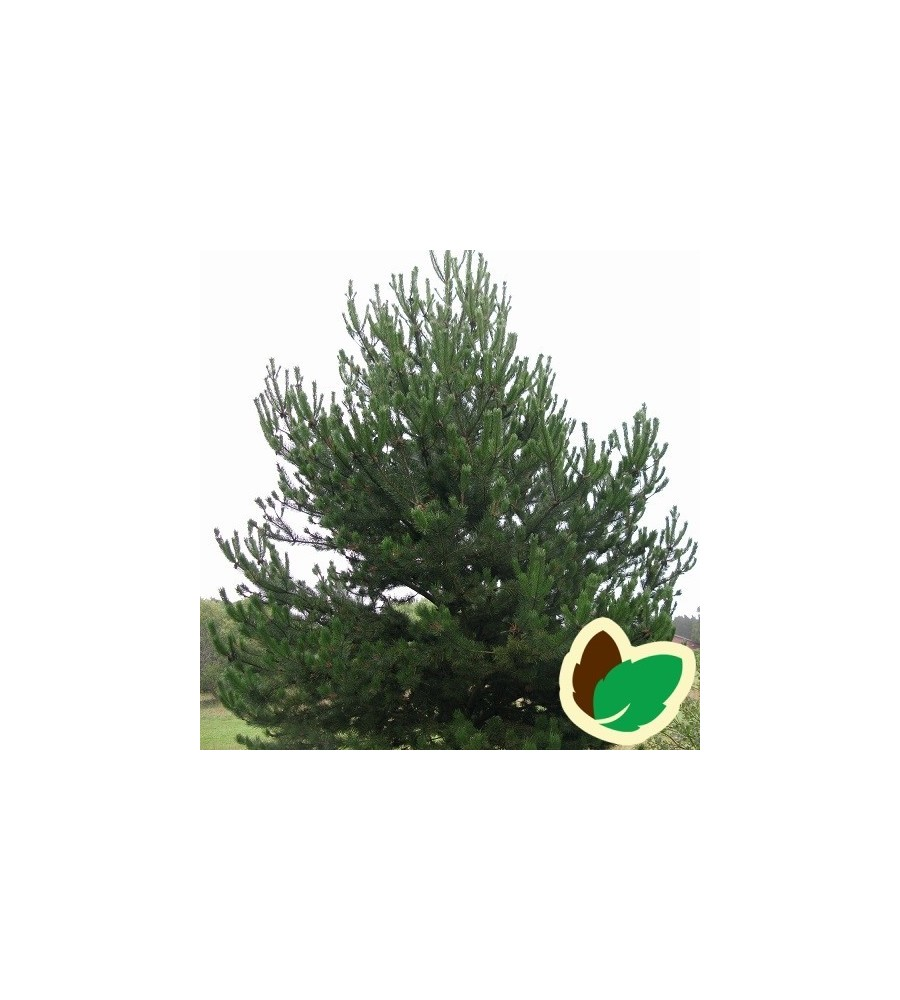 Pinus uncinata / Fransk Bjergfyr