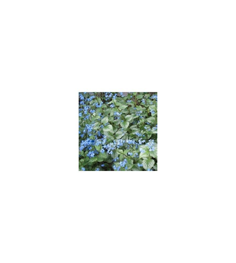 Brunnera macrophylla Jack Frost / Kærmindesøster