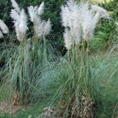 Cortaderia selloana Sunningdale Silver / Pampasgræs
