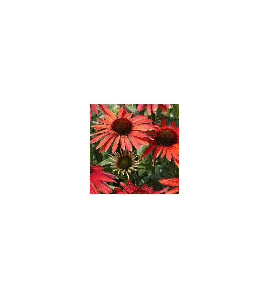 Echinacea purpurea Hot Summer - Solhat