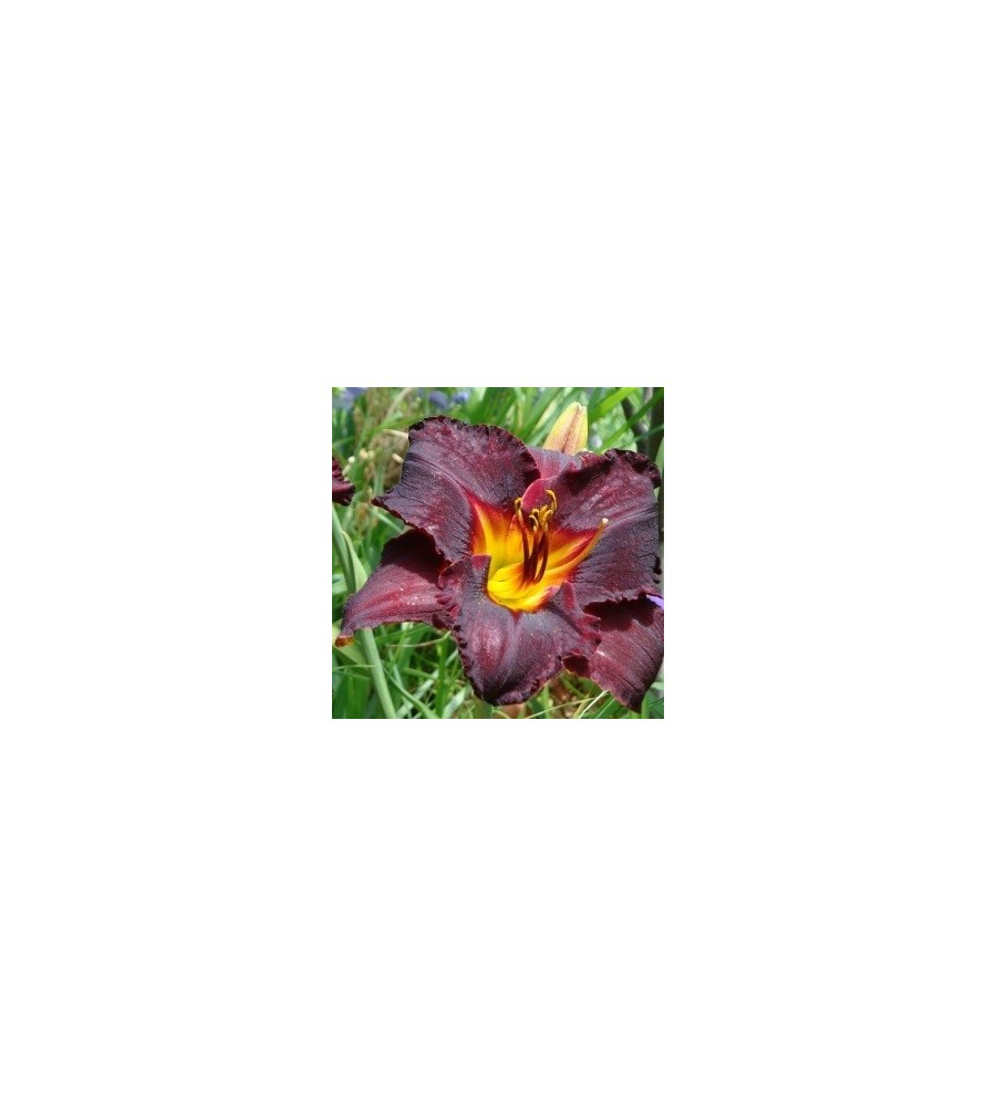 Hemerocallis hybrid Black Stockings / Daglilje