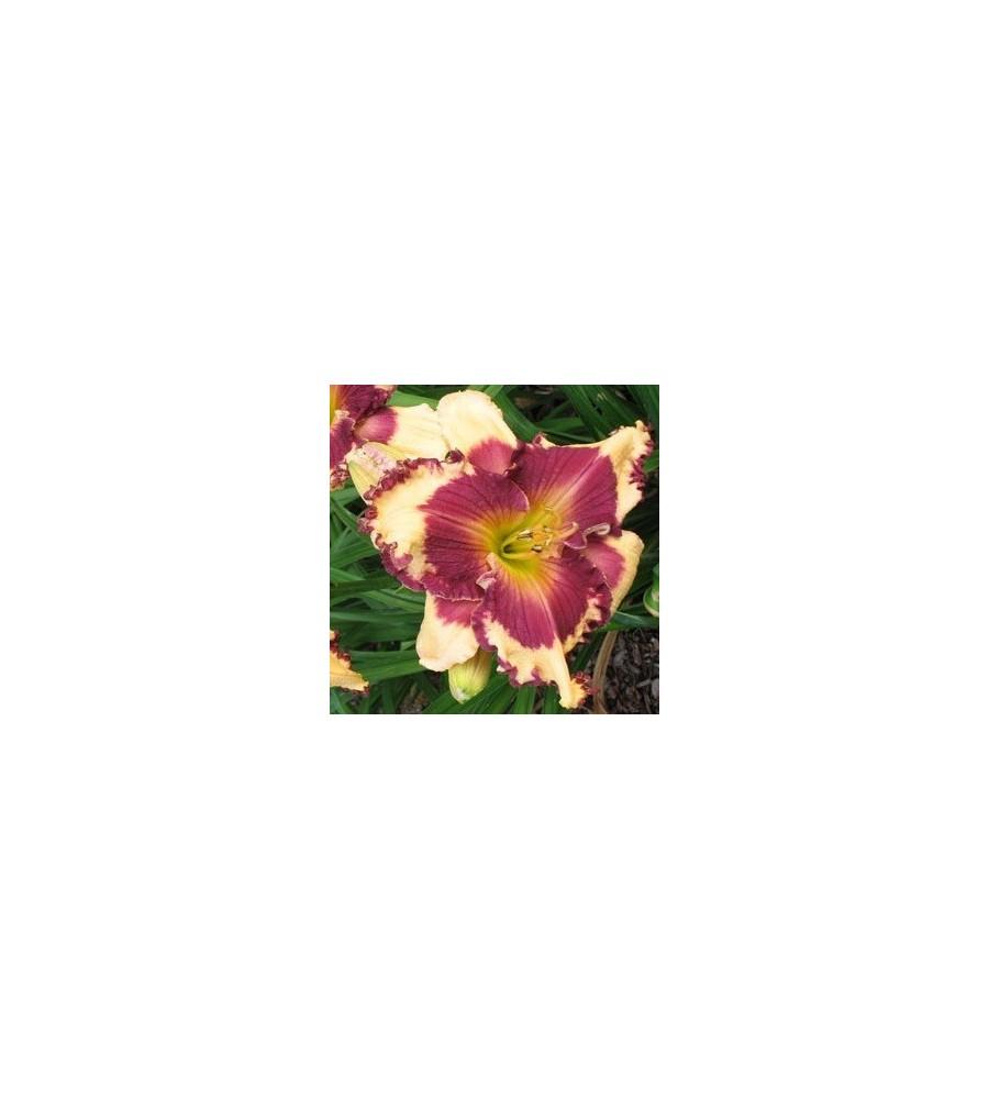 Hemerocallis hybrid Sabine Baur / Daglilje