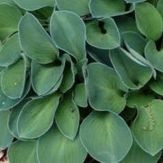 Hosta hybrid Blue Mouse Ears / Funkia
