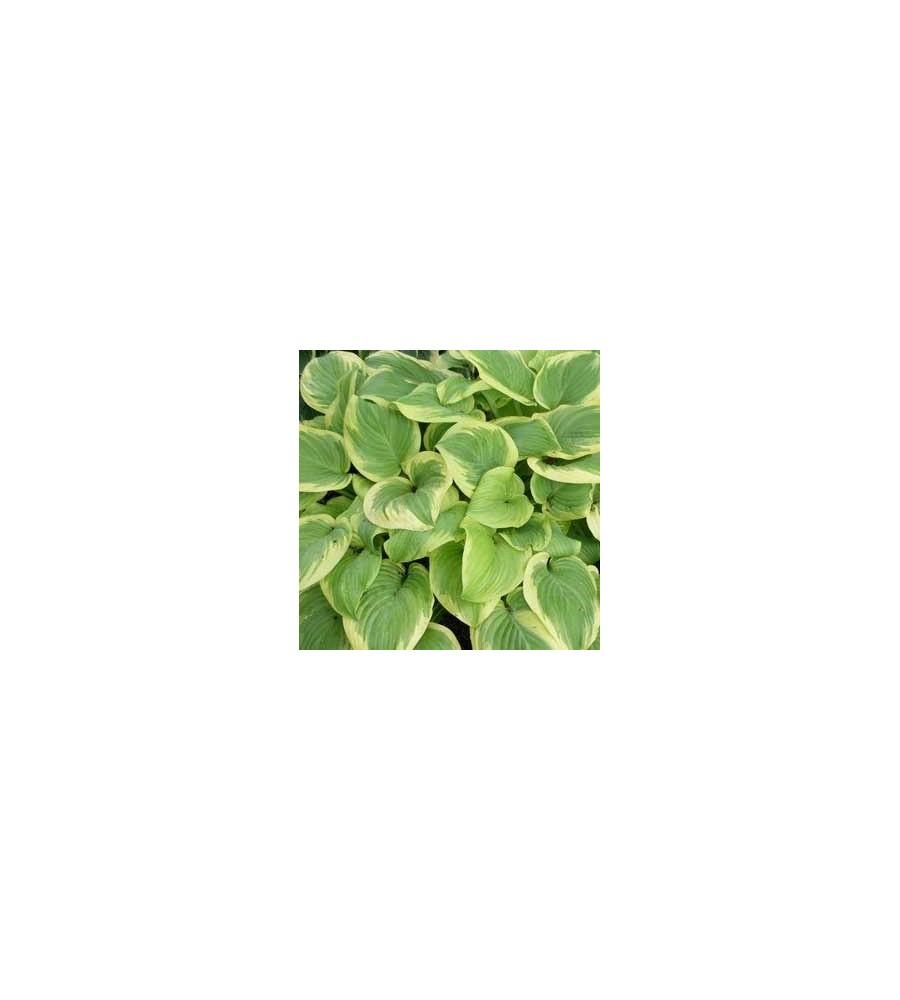 Hosta hybrid Fragrant Bouquet / Funkia