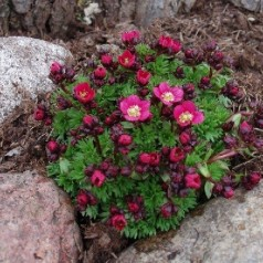 Saxifraga arendsii Rosenzwerg / Stenbræk