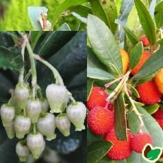 Jordbærtræ kompakt / Arbutus unedo Compacta