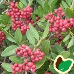 Pistacia vild - Pistacia lentiscus