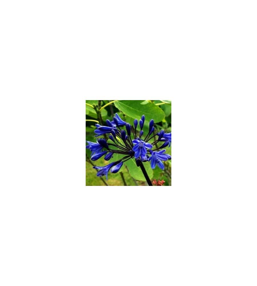 Agapanthus hybrid Black Buddhist / Skærmlilje