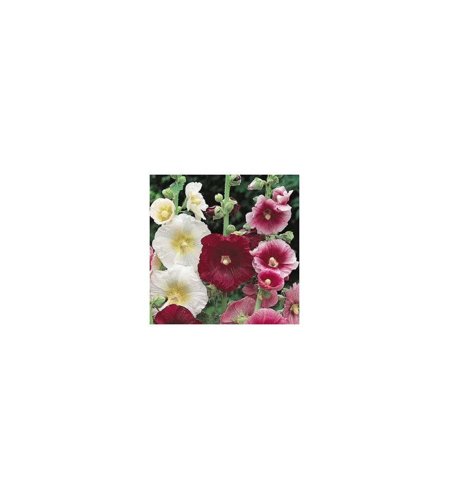 Alcea ficifolia / Stokroser blandet