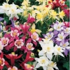 Aquilegia vulgaris Grandmothers Garden / Akeleje