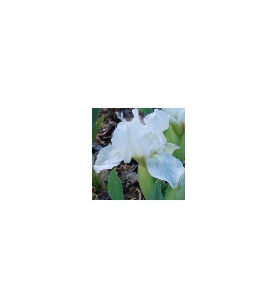 Iris pumila Lilli White / Iris