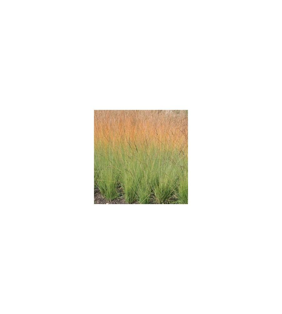 Molinia caerulea Heidebraut / Pibegræs