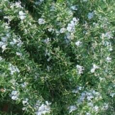 Rosmarinus officinalis Prostratus / Rosmarin