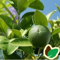 Limetræ - Citrusplante