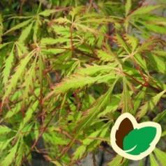 Acer palmatum Spring Delight - Japansk Løn / Japansk Ahorn