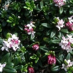 Daphne retusa - Pebertræ