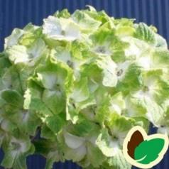 Hydrangea macrophylla Magical Nobles / Hortensia