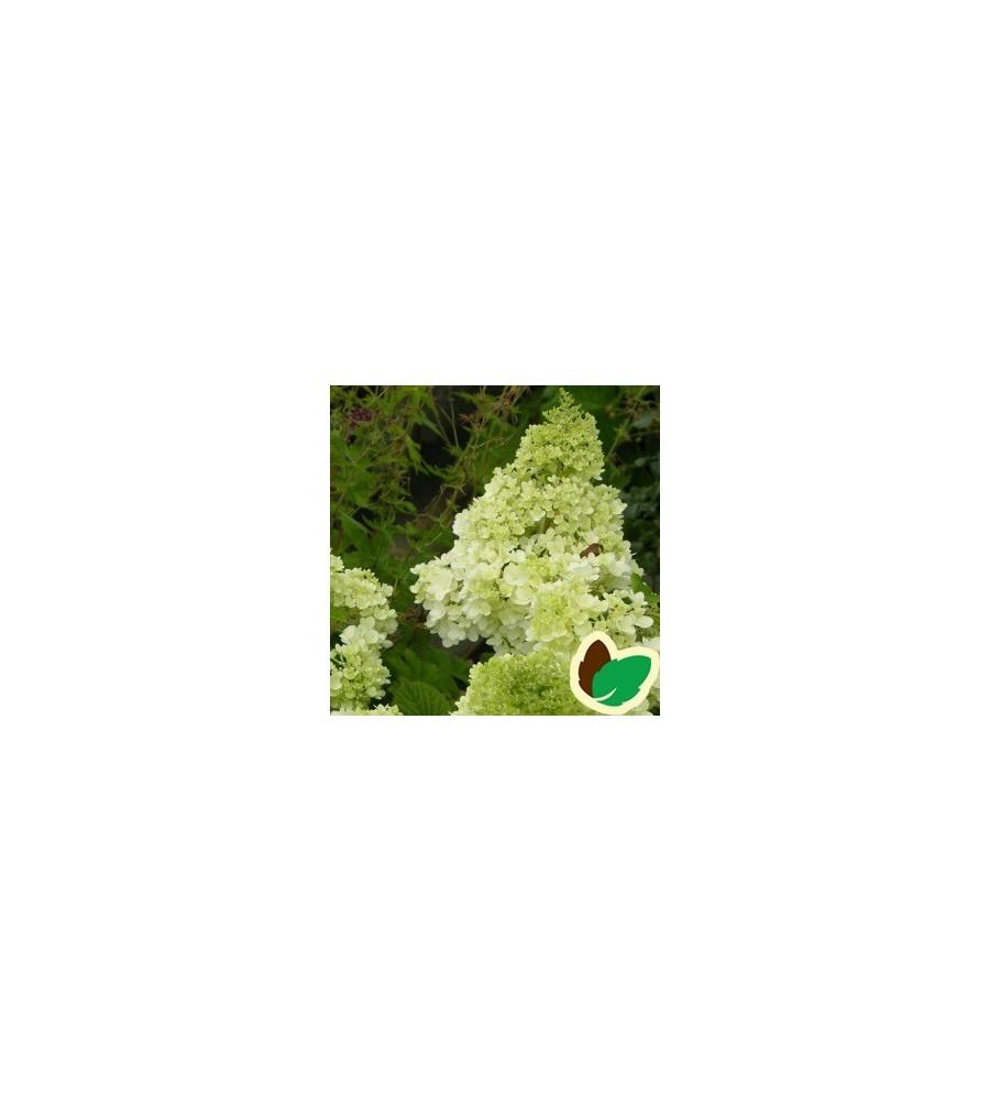 Hydrangea paniculata Magical Moonlight / Syrenhortensia