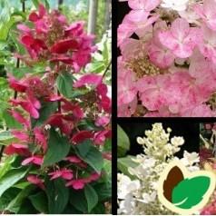 Hydrangea paniculata Magical Fire / Syrenhortensia