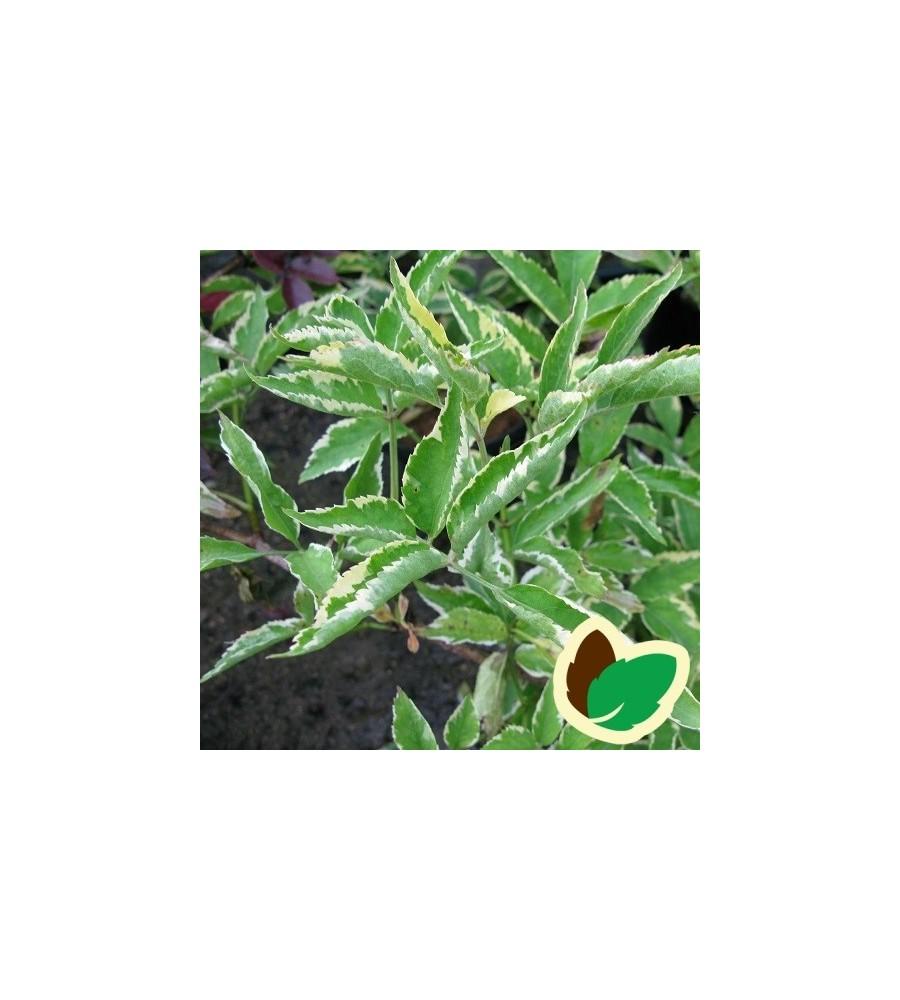 Sambucus  nigra Aurea Variegata - Gulbroget Hyld