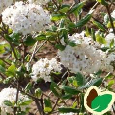 Viburnum burkwoodii Anne Russel - Snebollebusk