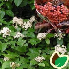 Viburnum nudum - Glat Viburnum