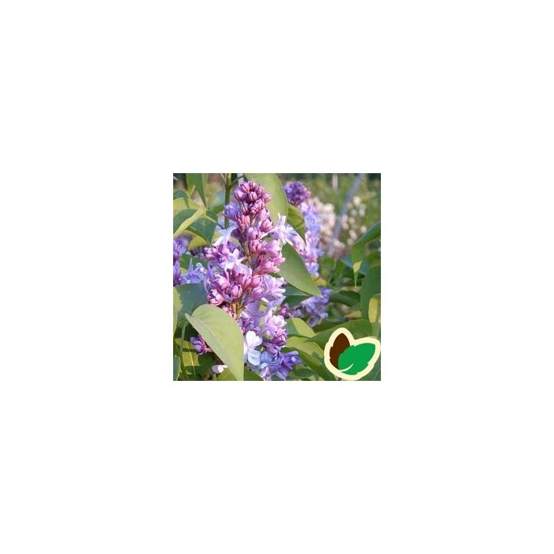 Syringa vulgaris Nadezhda - Storblomstret Syren