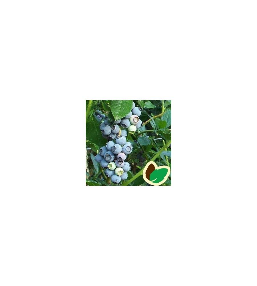 Blåbær Rubel - Storfrugtet