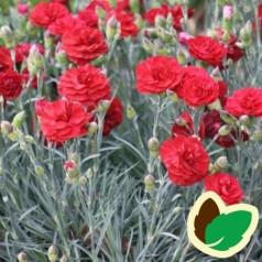 Dianthus caryophyllus Rød / Havenellike