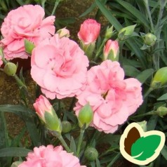 Dianthus caryophyllus Rosa / Havenellike