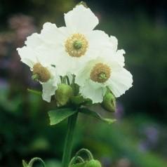Meconopsis betonicifolia Alba - Valmuesøster