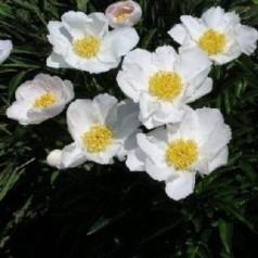 Paeonia lactiflora Jan van Leeuwen / Silkepæon